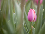 Close Up of a Pink Tulip