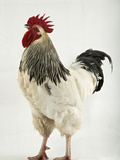 A Light Sussex  a Rare Breed of Chicken from Tatton Park Farm