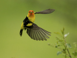 A Western Tanager  Piranga Ludoviciana  Perched on a Twig