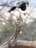Yellow-Billed Hornbills  One Flying  Another Perched on a Tree Branch