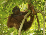 An Adult Male Bornean Orangutan  Pongo Pygmaeus