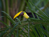 Portrait of a Chestnut-Mandibled Toucan  Ramphastos Swainsonii