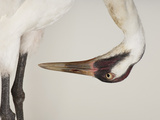 An Endangered Whooping Crane  Grus Americana