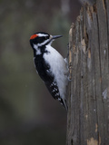A Male Downy Woodpecker  Picoides Pubescens  on a Tree Trunk