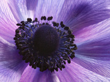 Close Up of a Purple Anemone Flower  Anemone Coronari