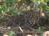 Jaguar  Panthera Onca  Resting in Shade