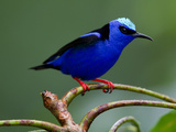 Red-Legged Honeycreeper  Cyanerpes Cyaneus  Perched on a Limb