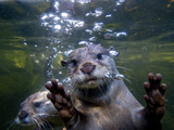 An Asian or Oriental Small-Clawed Otter, Aonyx Cinerea, Swimming Papier Photo par Paul Sutherland