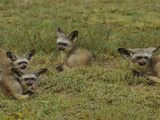 Bat Eared Fox Gather Together on the African Plain
