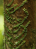 Climbing Vine on the Trunk of a Rain Forest Tree
