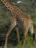 A Reticulated Giraffe Runs across the Grasslands in Tanzania