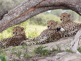 Three Cheetahs  Acinonyx Jubatus  Relaxing under a Tree Limb