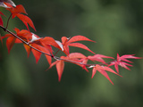 Japanese Maple Leaves in Spring
