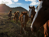 A Small Breed of Wild Horses  Brought over from Tahiti  on Easter Island