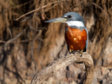 Ringed Kingfisher Perched on a Tree Branch