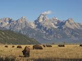 Bison Grazing in the Grasslands Below the Teton Range Papier Photo par Bob Smith