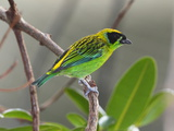 A Captive Green and Gold Tanager  Tangara Schrankii  on a Tree Branch