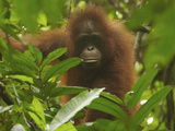 Portrait of a Young Female Bornean Orangutan  Pongo Pygmaeus