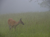 A White-Tailed Deer Doe  Odocoileus Virginianus  Foraging in the Mist
