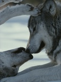 Two Gray Wolves  Canis Lupus  Touch Noses During a Tender Moment