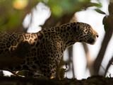 Jaguar  Panthera Onca  Walking in the Shade