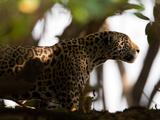 Jaguar  Panthera Onca  Walking in the Shade
