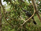 Bushy-Crested Hornbill  Anorrhinus Galeritus  in a Strangler Fig Tree