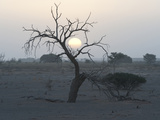 The Sun Sets Between Branches of a Tree in Sossusvlei