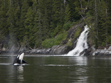An Orca Whale Surfaces or Spy Hops