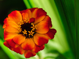 Close Up of a Small Orange Zinnia Flower  Zinnia Species