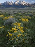 Arrowleaf Balsamroot  Balsamhoriza Sagittata  and the Teton Range