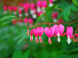 Bleeding Heart Flowers  Dicentra Spectabilis  in Bloom