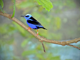 Vivid Indigo and Black Honeycreeper Struts His Stuff on a Tree Branch