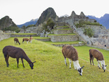 Llamas Eating on the Grounds of the Inca Ruins of Machu Picchu