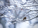A European Robin  Erithacus Rubecula  on a Snow Covered Branch