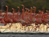 Caribbean Flamingos Run with Raised Heads in Display Behavior
