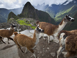 Llamas on a Road Above Machu Picchu