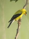 Adult Male American Goldfinch  Spinus Tristis  in Breeding Plumage