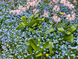 Forget-Me-Nots and Pink Azalea Flowers  in Springtime