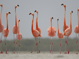 Caribbean Flamingos in Display Behavior
