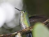 Portrait of a Green-Crowned Brilliant Hummingbird  Heliodoxa Jacula
