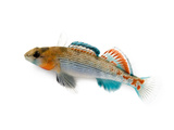 An Orangethroat Darter  Etheostoma Spectabile
