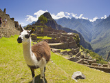 A Llama at the Pre-Columbian Inca Ruins at Machu Picchu