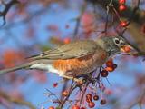 An American Robin  Turdus Migratorius  Eating Crab Apples in a Tree