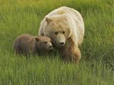 A Coastal Brown Bear  Ursus Arctos  and Cub Eating Fresh Grasses