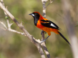 Portrait of an Orange-Backed Troupial  Icterus Croconotus