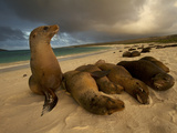 Galapagos Sea Lions  Zalophus Wollebaeki  on the Beach