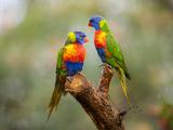 Rainbow Lorikeets  Trichoglossus Haematodus
