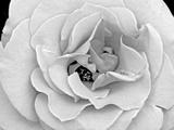 A Delicate and Splendid Rose Opens Up Her Petals Papier Photo par Raymond Gehman