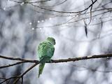 A Rose-Ringed Parakeet  Psittacula Krameri  on a Branch in Winter